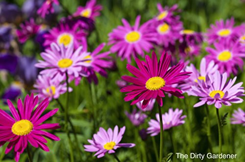 The Dirty Gardener Painted Daisy Flowers - 3,000 Seeds (Daisy Flower Purple)