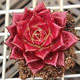 Echeveria Agavoides V Romeo Rubin 3cm -Rare Plant Beautiful Succulent Live Plant