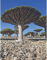 Socotra Dragon Blood Tree Notebook: Dragon Blood Tree in Socotra, Yemen Notebook, Large / Letter size, Lined Paperback Journal/Notebook for checklist, taking notes, recording memories and jotting down ideas