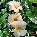 Sandys Nursery Online Mandevilla Apricot ~Lot of 2 ~ Starter Plants