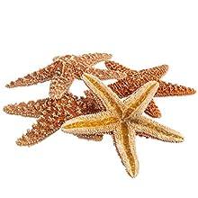"Sugar Starfish   5 Brown Sugar Starfish 4""-5""   Plus Free Nautical eBook by Joseph Rains"