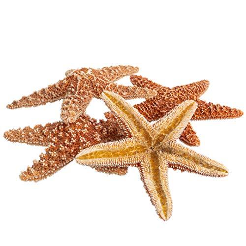 Sugar Starfish | 5 Brown Sugar Starfish 4