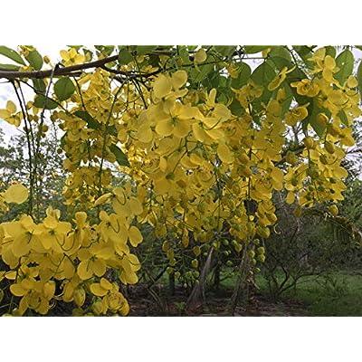 Cassia Fistula Golden Shower Tree Golden Yellow Flowers Seeds! : Garden & Outdoor