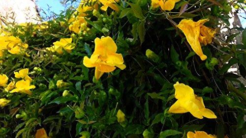Yellow trumpet vine flava creeperr plant established roots yellow trumpet vine flava creeperr plant established roots 25 potted 1 mightylinksfo