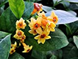 ORANGE ZEST Peel Jasmine Jessamine Live Tropical Cestrum Plant Lightly Fragrant Orange Flower Starter Size 4 Inch Pot Emerald TM Review