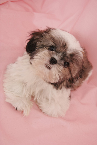 Amazon Shih Tzu Dog Live Wallpaper Appstore For Android