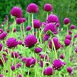 50 Seeds - Gomphrena Rose Globe Flower Seeds (Gomphrena Globosa)