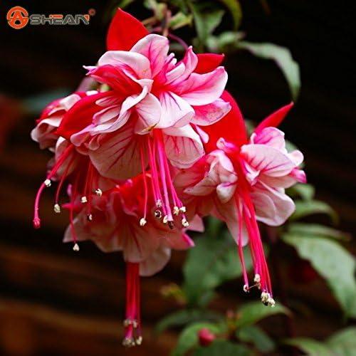 Lila Doppelbl/ütenbl/ätter Fuchsia Samen Topfblumensamen Topfpflanzen h/ängende pinkfarbene Blumen 50 Partikel//Beutel