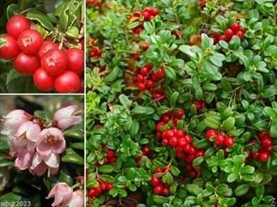Lingonberry Seeds- (Vaccinium Vitis-idaea) Evergreen shrub, bears edible fruit (10 seeds)