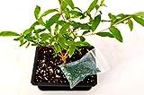 9GreenBox - Dwarf Pomegranate Mame Bonsai with Water Tray and Fertilizer