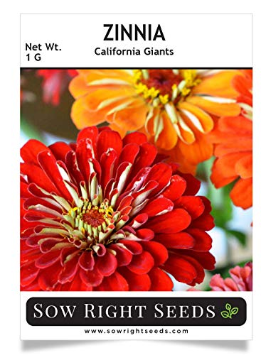 Sow Right Seeds California Giant Zinnia Seeds - Full Instructions for Planting, Beautiful to Plant in Your Flower Garden; Non-GMO Heirloom Seeds; Wonderful Gardening Gifts (1) ()