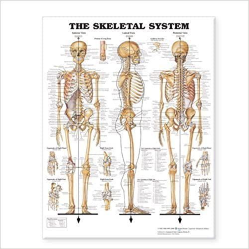The Skeletal System Giant Chart Pstr Edition by Anatomical Chart Company published by Lippincott Williams & Wilkins (2006)