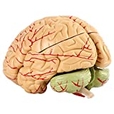 8 Parts Anatomical Brain Arteries Model with Base, Human Medical Set Supply College University School Scientific, 4.3-Inch X 4.7-Inch X 5.9-Inch