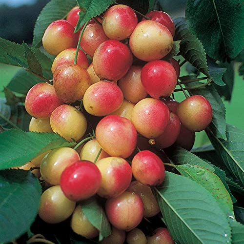 Napoleon Royal Ann Sweet Cherry Semi-Dwarf Bareroot Tree - Ships 3-4' Tall and/or with a 3/8