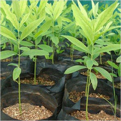Vamsha Nature Care Safed Chandan White Indian Sandalwood Tree in