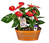 #4: Hallmark Flowers Happy Hearts Anthurium Garden in 10-Inch Orange Tin Container