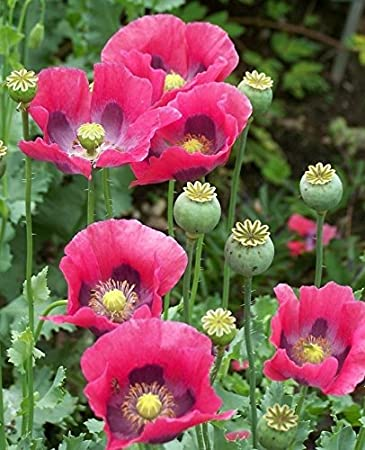 Amazon poppy flower seeds the giant 100 fresh seeds garden poppy flower seeds the giant 100 fresh seeds mightylinksfo