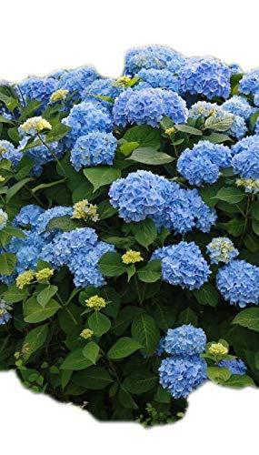 (Hydrangea Endless Summer > Hydrangea macrophylla 'Bailmer' >Landscape Ready 2 Gallon Container)