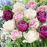 20 Double Late Mixture Tulip Bulbs - Tulipa Double Late