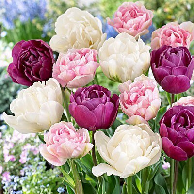 20 Double Late Mixture Tulip Bulbs - Tulipa Double Late