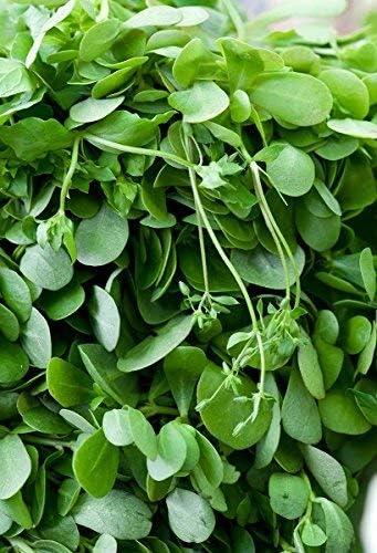 Semillas de Purslane, Verdolaga - Portulaca oleracea - 1100 ...