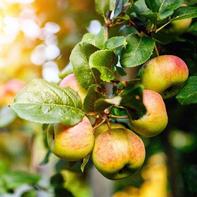 Dorsett Apple by Brighter Blooms