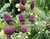 Picea jezoensis Bonsai Seeds