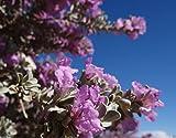50 Seeds Silver Leucophyllum frutescens Texas Ranger Sage Cenizo leaf Purple