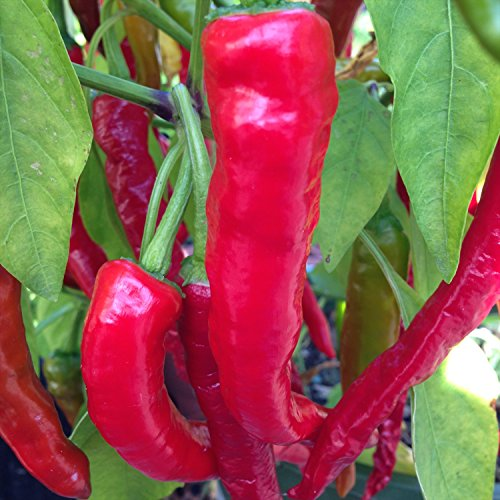 20 Pepper Seeds (Fushimi Pepper, 20 Seeds)