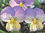 25 Seeds Viola Sorbet Blueberry Cream - Annual Seeds