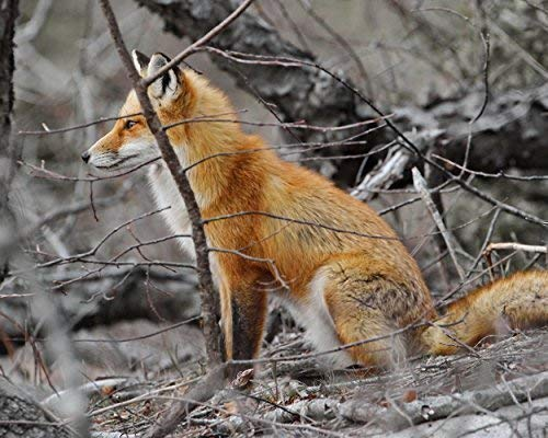 (Photograph of a Red Fox in the Woods - Fine Art Animal Photography -