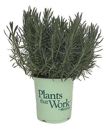 Plants That Work Phenomenal Lavender   Lavandula X I  Phenomenal   19Cm