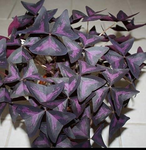 indoor house plants yellow leaves, purple passion velvet plants leaves, indoor plants purple passion vine, indoor orchid plant flowers, on indoor house plants with purple leaves