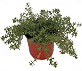 Thyme 'Creeping Red' Herb Plant (Pack of 12)