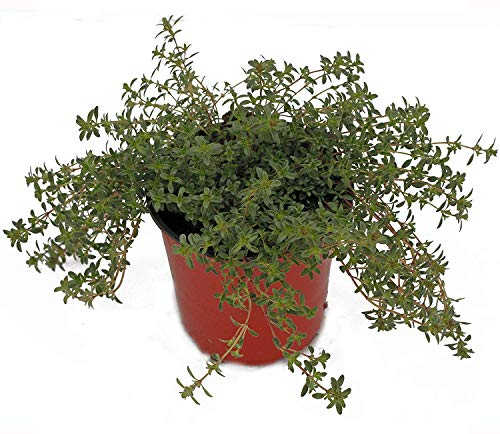 Thyme 'Creeping Red' Herb Plant (Pack of 12) by Dutch Country Classics (Image #3)