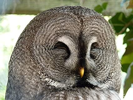 Image of: Whet Owl Image Unavailable Amazoncom Amazoncom Home Comforts Laminated Poster Bird Owl Nocturnal Kautz