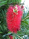 BOTTLEBRUSH - WEEPING - 1 PLANT - QUART POT