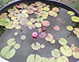 Live Aquatic Plant Nymphaea Mayla RED Color HARDY