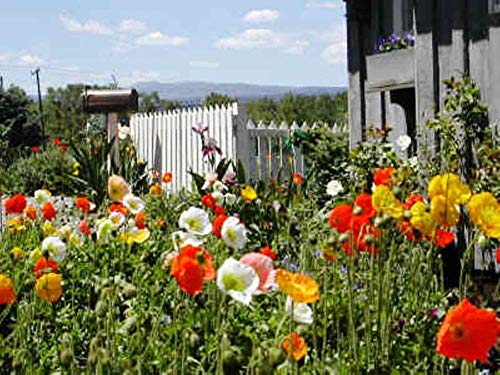 Flowers,Iceland Poppy Seeds (Papaver Rhoeas) Free Blooming Mix in Shades of Pink, Yellow, Orange, Rose, White, Cream and Stunning bicolors. (10000 + Seeds) by ThronesFarm