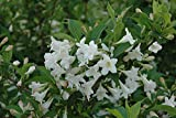 WHITE WEIGELA (Weigela florida white)
