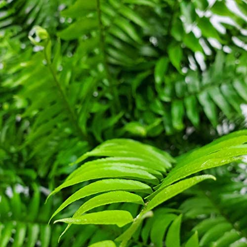 Tropical Plants of Florida Overall Height 28 to 34 Plant + Heat Pack Macho Fern 3 Gallon Pot