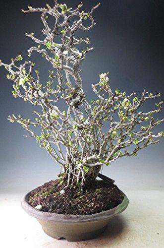 盆栽 白花長寿梅の盆栽【現品】今年の開花は終わっております。  B00G2XN182