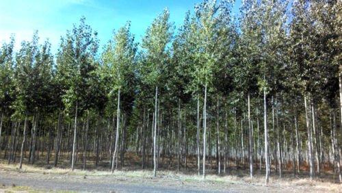 10 X-Large HYBRID POPLAR TREE Cuttings- Easy to Root - Shade/Windbreak/Firewood