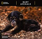 National Geographic Baby Animals 2020 Wall Calendar