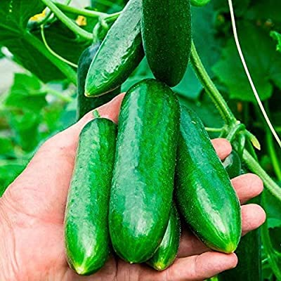 Cucumber Seeds Mini,Heirloom Non-GMO Vegetable Seeds Fruit Seeds for Home Garden Planting: Kitchen & Dining