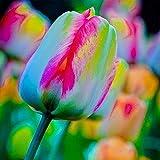 50Pcs/Pack Rainbow Tulip Bulbs Seeds, Colorful Special Rainbow Flower Seeds, for Summer Garden Backyard Flower Decor