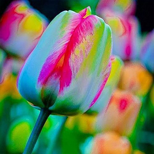 50Pcs/Pack Rainbow Tulip Bulbs Seeds, Colorful Special Rainbow Flower Seeds, for Summer Garden Backyard Flower Decor