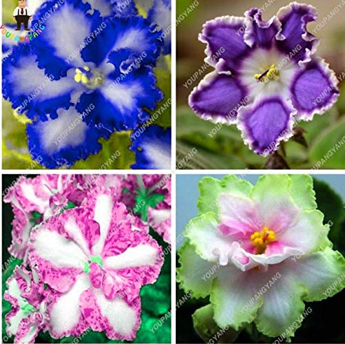 Exotic African Violet Seeds Mixed Colors Flower Seed saintpaulia 120 Seeds New s