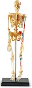 Learning Resources Skeleton Model, Miniature Model, Easy to Manipulate, 41-Piece Model, Ages 8+