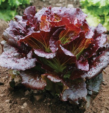 David's Garden Seeds Lettuce Cherokee D2741A (Red) 200 Open Pollinated Seeds